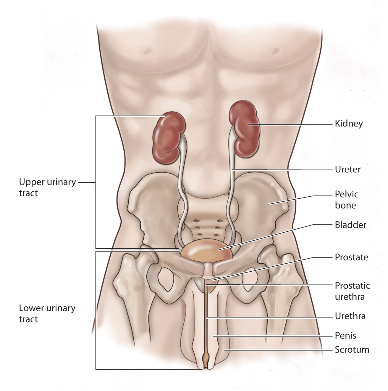 Front View Of Urinary Tract Diagram Great Installation Of Wiring